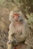 Hamadryas Baboon Photographic Print by  DLILLC