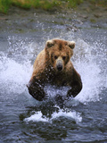 Brown Bear Fishing for Salmon Photographic Print by  DLILLC