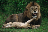 Cub Playing with Male Lion Photographic Print by  DLILLC