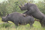 Black Rhinoceros Mating Photographic Print by  DLILLC