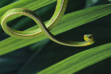 Green Vine Snake Photographic Print by  DLILLC