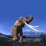 African Elephant Photographic Print by  DLILLC