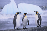King Penguins Photographic Print by  DLILLC