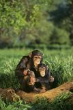 Chimpanser Fotografisk tryk af  DLILLC