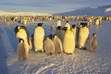 Emperor Penguins and Offspring Photographic Print by  DLILLC