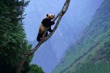 Giant Panda in Tree Fotoprint av  DLILLC