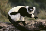 Ruffed Lemur Photographic Print by  DLILLC