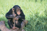 Chimpanzee Playing with a Stick Photographic Print by  DLILLC
