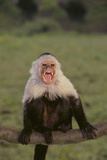 White-Faced Capuchin Baring Teeth Photographic Print by  DLILLC