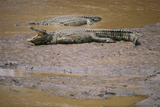 Crocodile Photographic Print by  DLILLC