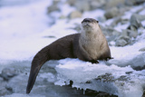 River Otter on Icy Riverbank Photographic Print by  DLILLC