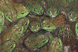 Bullfrogs Photographic Print by  DLILLC