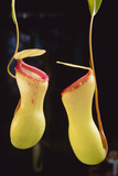 Tropical Pitcher Plant Photographic Print by  DLILLC