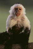 White-Faced Capuchin Photographic Print by  DLILLC