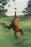 Orangutan Swinging through Forest Photographic Print by  DLILLC