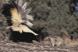 Striped Skunk and Squirrel Lámina fotográfica por  DLILLC