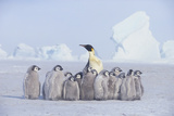 Emperor Penguin Guarding Young Photographic Print by  DLILLC