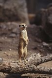 Meerkat Standing Up Photographic Print by  DLILLC