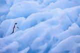 Adelie Penguin Photographic Print by  DLILLC