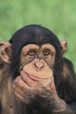 Chimpanzee Smiling Photographic Print by  DLILLC