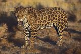 Fierce Jaguar Photographic Print by  DLILLC
