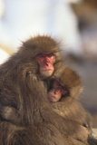 Japanese Macaques Hugging Photographic Print by  DLILLC
