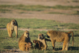 Baboon Family Photographic Print by  DLILLC