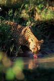 Leopard Drinking Photographic Print by  DLILLC