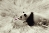 Panda Sniffing Lotus Blossom Photographic Print by  DLILLC