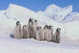Cluster of Young Emperor Penguins Photographic Print by  DLILLC