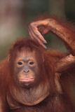 Orangutan Scratching its Head Photographic Print by  DLILLC