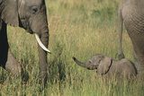 African Elephants with Calf Photographic Print by  DLILLC