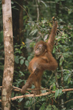 Young Orangutan in the Trees Fotografisk tryk af  DLILLC