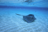 Stingray Photographic Print by  DLILLC