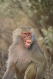 Hamadryas Baboon Baring Teeth Photographic Print by  DLILLC