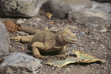 Land Iguana Photographic Print by  DLILLC