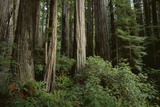 Forest Full of Redwood Trees Photographic Print by  DLILLC