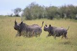 Black Rhinoceros Running on the Savanna Photographic Print by  DLILLC