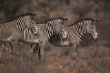 Three Grevy's Zebras Photographic Print by  DLILLC