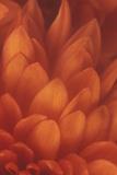 Chrysanthemum Flower Photographic Print by  DLILLC