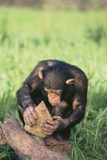 Chimpanzee Smashing Rocks Photographic Print by  DLILLC