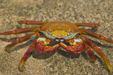 Sally Lightfoot Crab Photographic Print by  DLILLC
