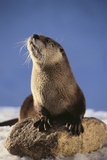 Alert River Otter Photographic Print by  DLILLC