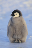 Baby Emperor Penguin Reproduction photographique par  DLILLC