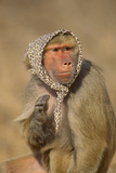 Baboon in Headscarf Photographic Print by  DLILLC