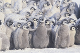 Young Emperor Penguins Covered in Snow Photographic Print by  DLILLC
