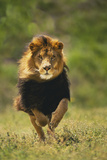 Male Lion Running Photographic Print by  DLILLC