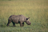 Young Black Rhinoceros Photographic Print by  DLILLC