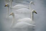 Whooper Swans on Lake Impressão fotográfica por  DLILLC