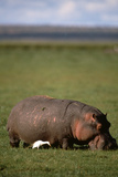 Hippopotamus and Cattle Egret Photographic Print by  DLILLC